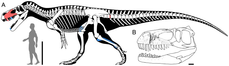 A Skeletal reconstruction of Torvosaurus gurneyi in lateral view illustrating in red